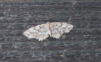 moth 06