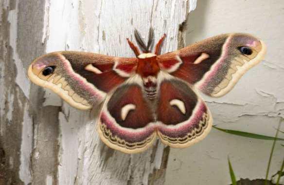DSC_3656-cecropia-moth