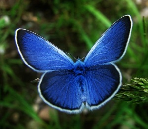 karnerbluebutterfly